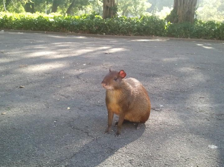 Une espèce de capybara