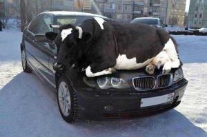 Procrastiner : Être une flemmasse peut coûter la vie, car check, vache sur une voiture