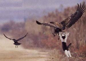 chat marrant, chat sur un aigle, chat court après oiseaux, chat agrippé à un oiseau, Comment avoir de la chance sans avoir des cornes au front ?